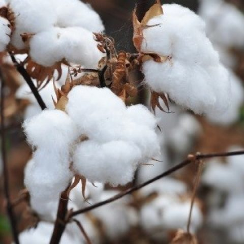 USDA Cotton Classing