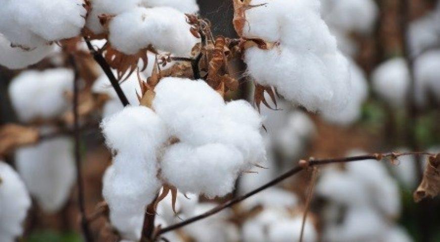 USDA Cotton Classing